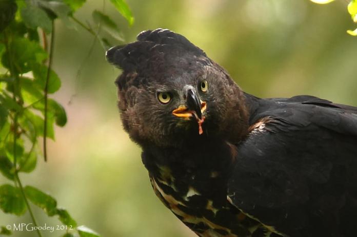 Crowned-Eagle-crop