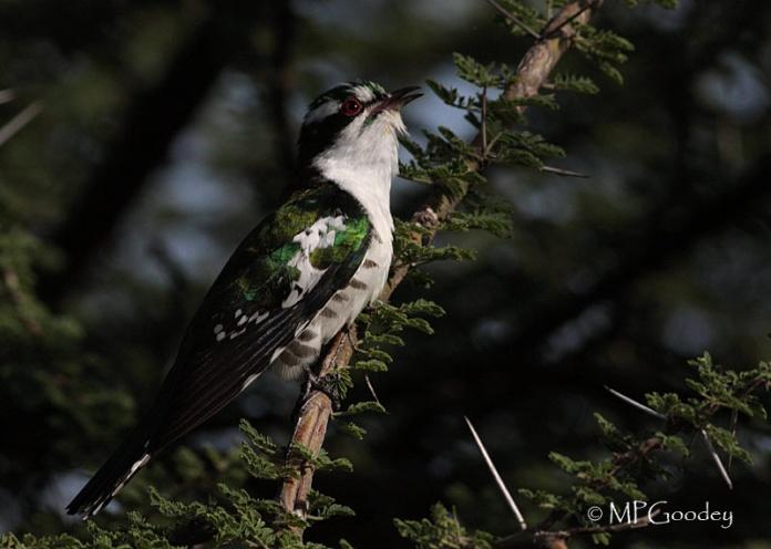 Dideric-Cuckoo