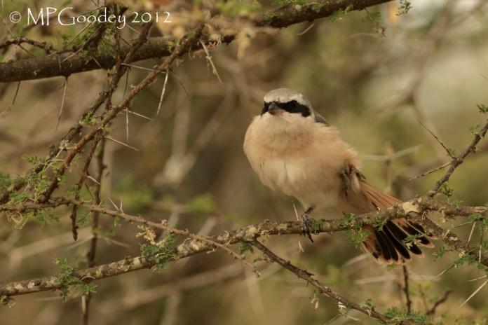 Red-tailed-Shrike2
