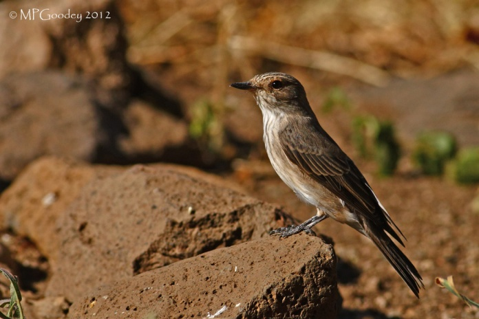 spotted-flycatcher-babs