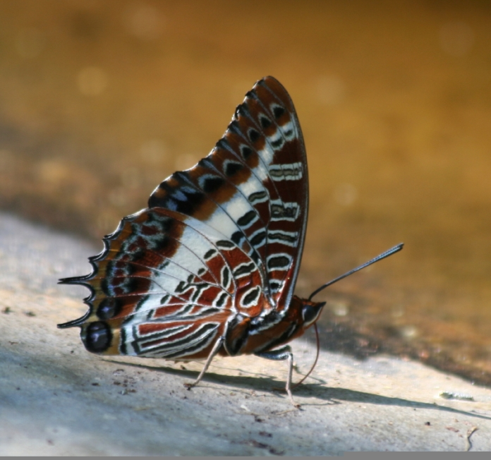 WHITE-BARRED EMPEROR, charaxes brutus natalensis