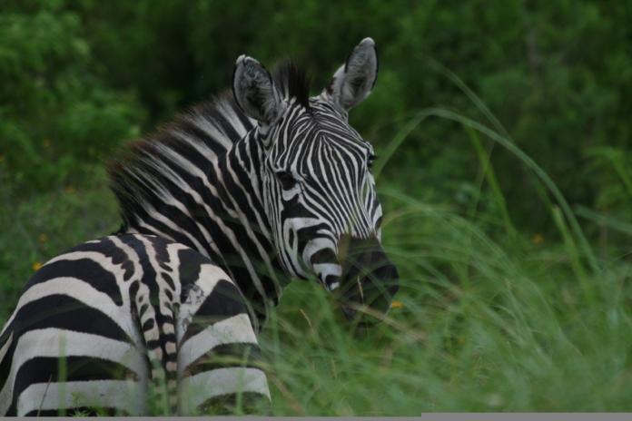 zebra_anabel's