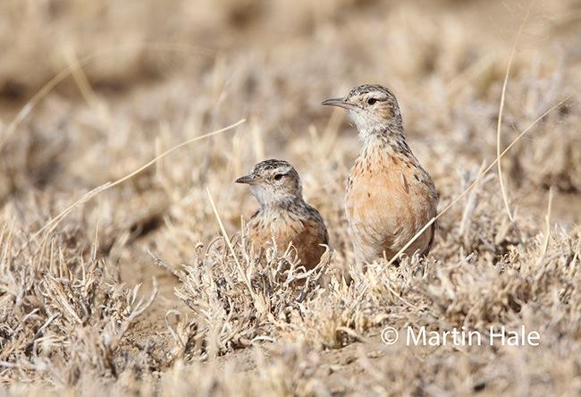 beesley's lark(MH)