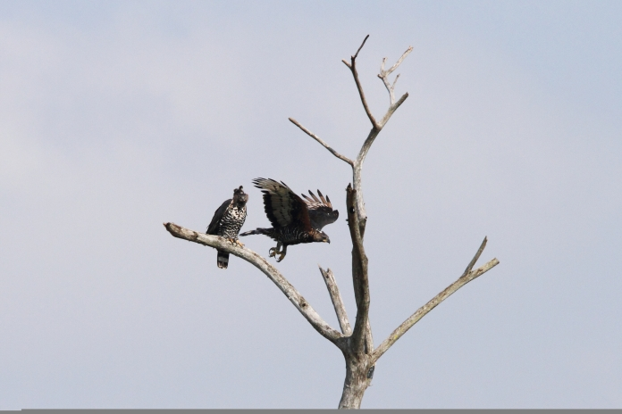 Eagle, Crowned Cape Vidal SA AR-140