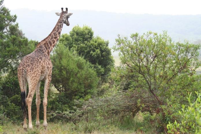 GiraffeANP(AH)