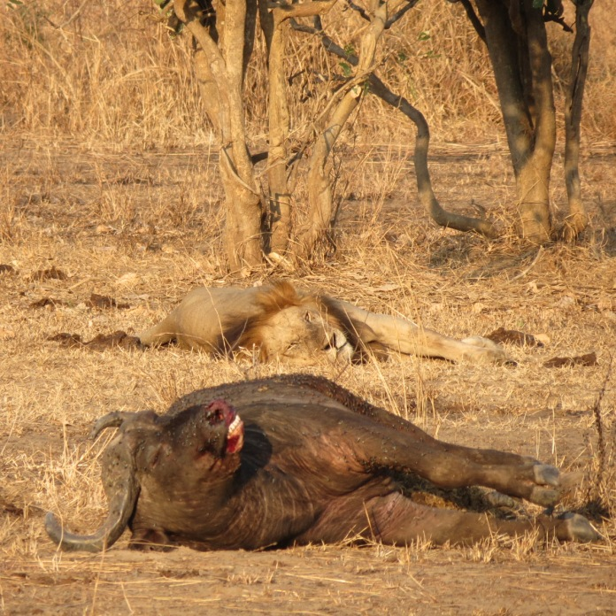 Lion&BuffaloMNP