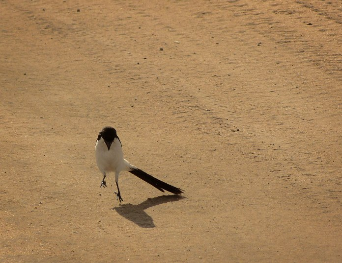 Long-tailed_Fiscal