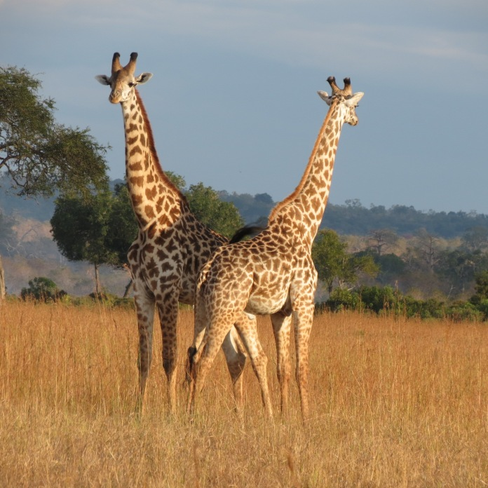 necking_giraffesMNP