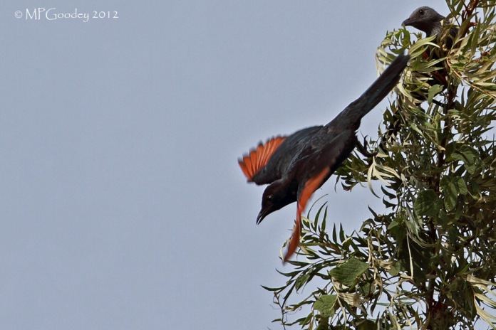 red-winged-starling