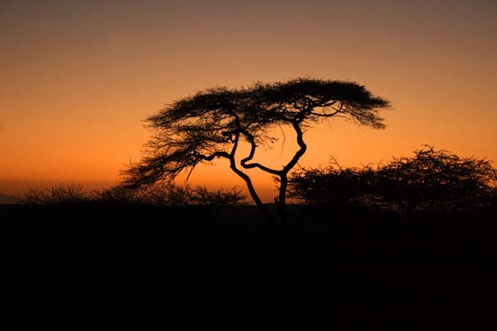 acacia-afro-dawn