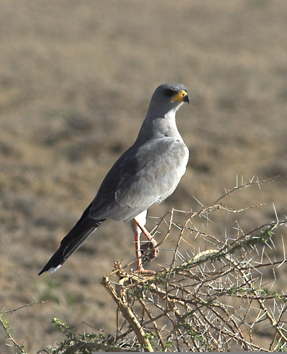 Eastern Chanting Goshawk