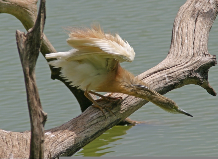 Squacco-Heron