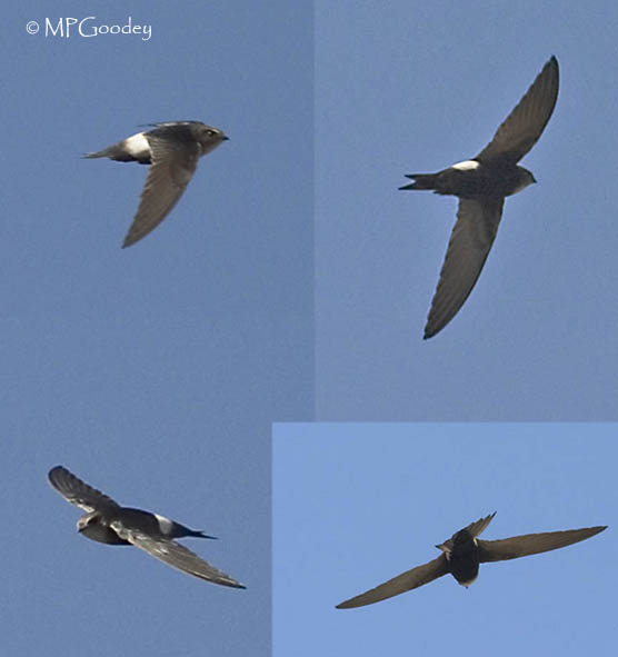 Horus Swifts