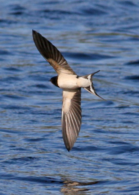PortHellickBarnSwallow
