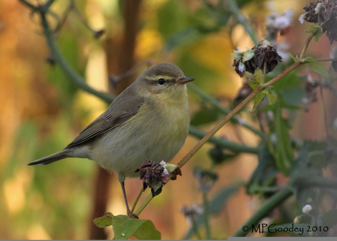 Willow-Warbler2JAW