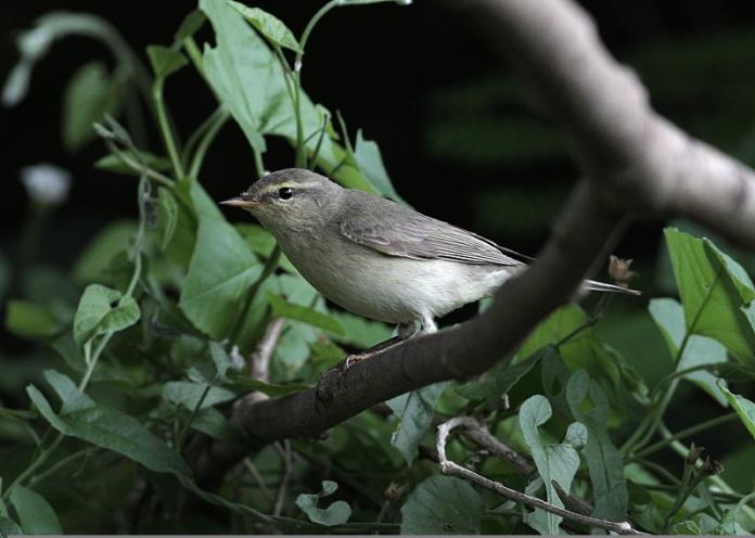 yakutensis-phylloscopus