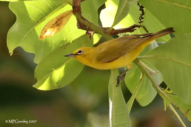 Gambian-Yellow-White-eye
