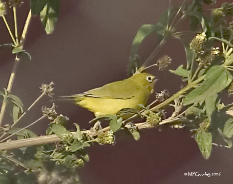 Lippia_White-eye