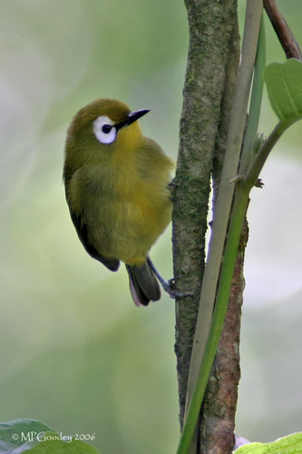 Meru-Volcano_White-eye2