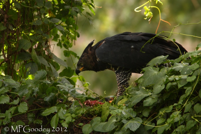 Crowned-Eagle4