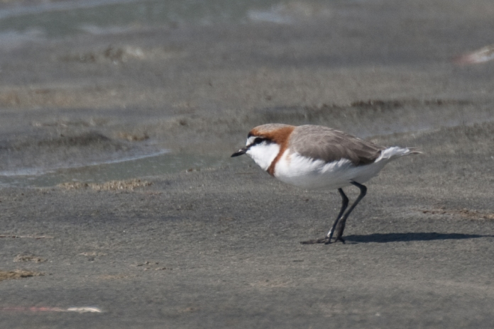 How do you get close to a Chestnut-banded Plover?  (a ZulBhatia-Photo)